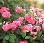 rose-bushes pic